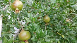 Los Poblanos pomegranate